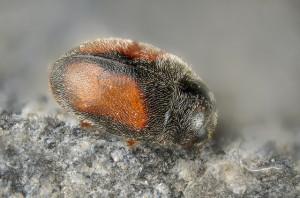 Nephus redtenbacheri